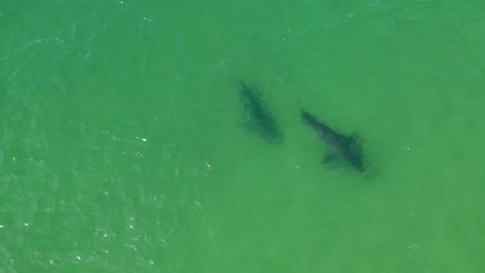 161 great white sharks spotted off Cape Cod since June 1