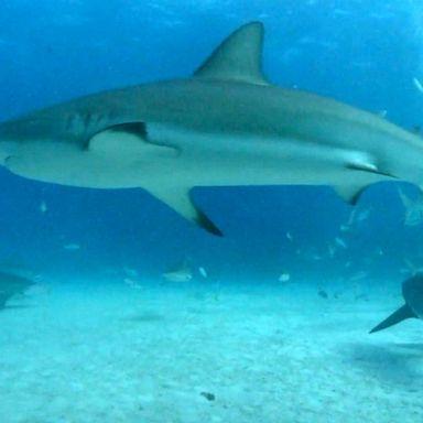 Shark sightings spark big business on Cape Cod | GMA
