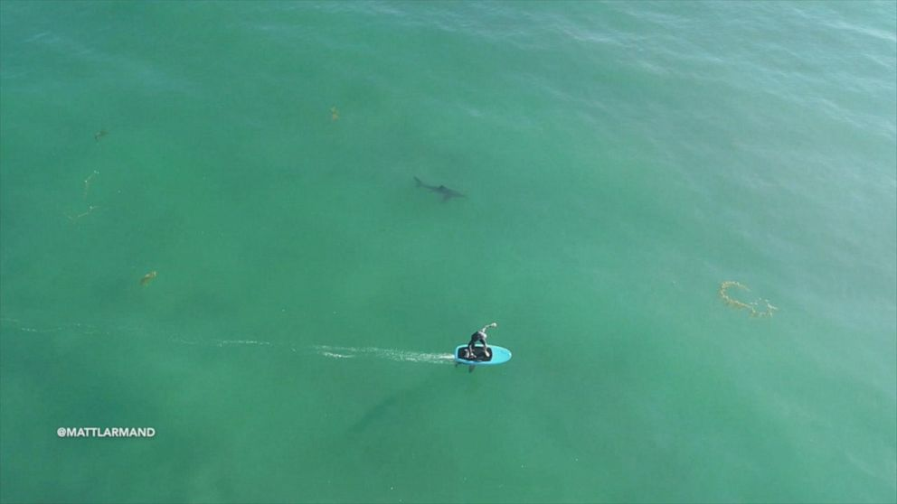Drone footage shows surfers hitting the water near sharks