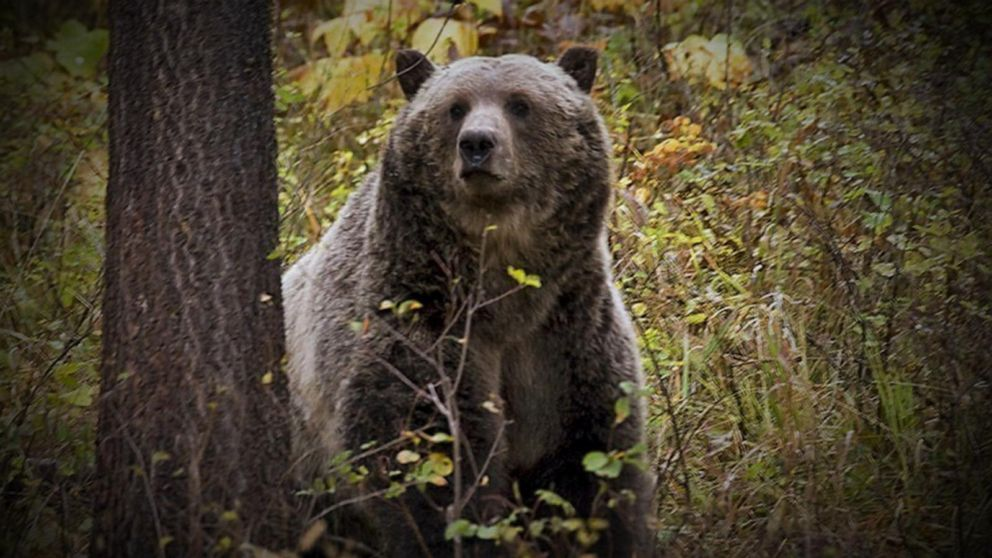 Four hunters survived two grizzly bear attacks in Montana