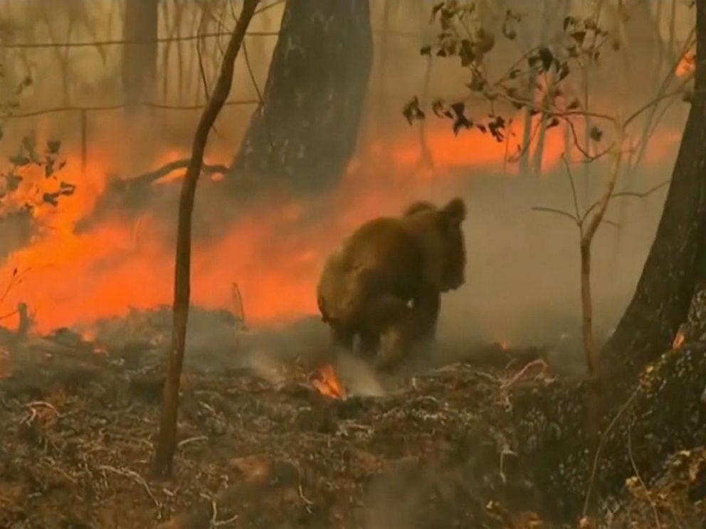VIDEO: Bushfires in Australia threaten koalas with extinction