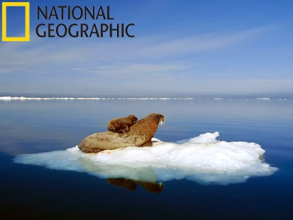 VIDEO: A walrus and its mother live in the Arctic.