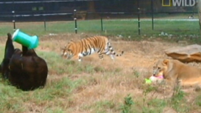 VIDEO: Lions, Tigers and Bears Living Together