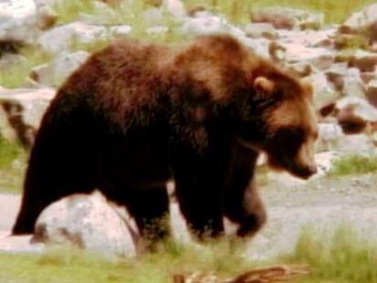 VIDEO: DNA tests will determine if the bear is to blame for a 48-year-old mans death