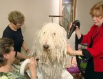 VIDEO: Lindsey Davis takes you behind the scenes at the quest for best in show.