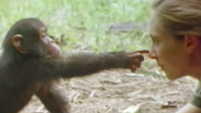 VIDEO: Famed primatologist on her research with chimps, environmental work.