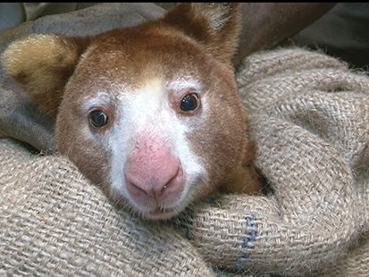 VIDEO: The rarely seen Tree Kangaroos are in danger of becoming extinct.