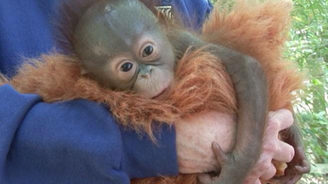VIDEO: Baby Orangutan Has 50 Surrogate Mothers