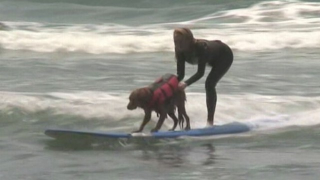 VIDEO: Ricochet the golden retriever is a canine copilot for handicapped surfers.