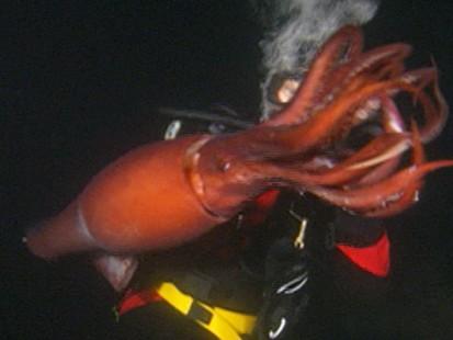 VIDEO: Jumbo Flying Squid found in San Diego waters