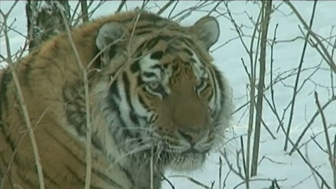 VIDEO: Vladimir Putin launches effort to bring tigers back from extinction.