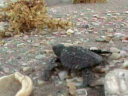 VIDEO: Matt Gutman is with the people trying to save the Gulf turtles.
