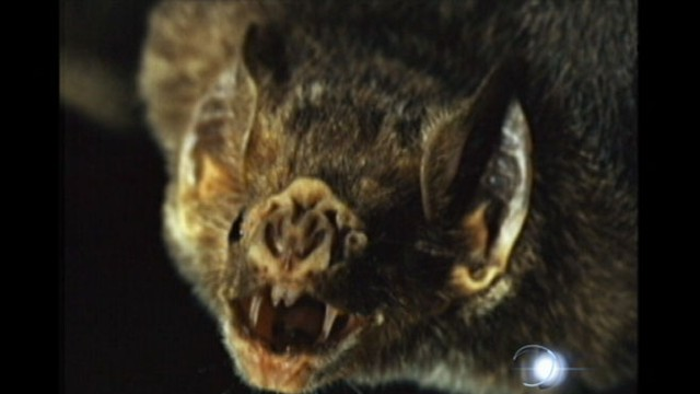 VIDEO: Farm hand, 19, dies from rabies after being bitten by a vampire bat.