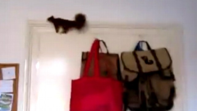 VIDEO: A squirrel in Germany runs around a man?s apartment before surviving a four-story fall.