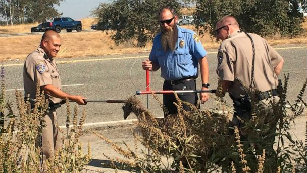 California Highway Patrol captures flightless fugitive emu